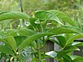 Starr-070906-8576-Syzygium malaccense-leaves-Kula Ace Hardware and Nursery-Maui (24524020169).jpg