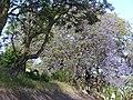 Starr-090513-7511-Jacaranda mimosifolia-flowering habit-King Kekaulike School Pukalani-Maui (24928344866).jpg