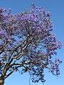 Starr-090513-7520-Jacaranda mimosifolia-flowering habit-Five trees Pukalani-Maui (24327802703).jpg