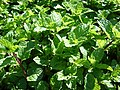 Starr-090602-8792-Mentha spicata-leaves-Bale Restaurant Wailuku-Maui (38081469734).jpg