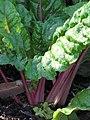 Starr-090801-3524-Beta vulgaris subsp cicla-habit in garden-Olinda-Maui (24603216709).jpg