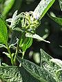 Starr-091020-8382-Solanum muricatum-flowers and leaves-Kula Experiment Station-Maui (24359617393).jpg