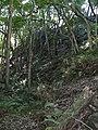 Starr-091127-1535-Aleurites moluccana-habit in gulch with palapalai-Olinda-Maui (24695238490).jpg