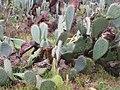 Starr-100203-1717-Opuntia ficus indica-habit-Kaonoulu Ranch Kula-Maui (24981855866).jpg