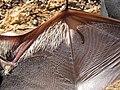 Starr-100907-9076-Eucalyptus sp-habitat with Hawaiian hoary bat Lasiurus cinereus semotus-Olinda-Maui (25025079916).jpg
