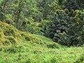 Starr-110201-0535-Thunbergia alata-habit in gulch-Keokea-Maui (25075398955).jpg