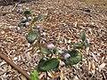 Starr-110621-6264-Vaccinium hybrid-Southern highbush cv Emerald habit-Hawea Pl Olinda-Maui (25070946446).jpg