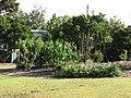 Starr-110731-8125-Zea mays-habit cv JB White-Hawea Pl Olinda-Maui (25008980011).jpg