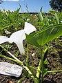 Starr-121029-0417-Ipomoea aquatica-flowers and leaves-Ukumehame-Maui (24567937273).jpg