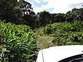 Starr-121031-0486-Hedychium coronarium-habit-Waikamoi Flume Rd-Maui (25076737442).jpg
