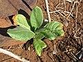 Starr-130320-3300-Nicotiana tabacum-seedling-Mokolea Pt Kilauea Pt NWR-Kauai (24582181633).jpg