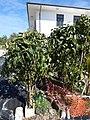 Starr-150325-0519-Polyscias guilfoylei-habit-Residences Sand Island-Midway Atoll (24970313090).jpg