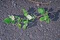Starr-990119-3227-Rubus niveus-form a flowers-Kula-Maui (23897190954).jpg