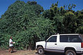 Starr 000501-1294 Thunbergia laurifolia.jpg