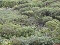 Starr 010820-0021 Schefflera actinophylla.jpg
