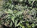 Starr 010828-0006 Pluchea carolinensis.jpg