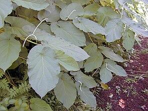 Laubblätter und Blütenstände von Piper auritum
