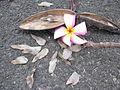 Starr 030612-0087 Plumeria rubra.jpg