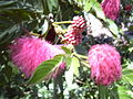 Starr 030702-0074 Calliandra haematocephala.jpg