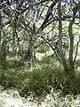 Starr 040902-0006 Prosopis pallida.jpg