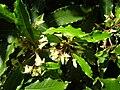 Starr 050216-4047 Pittosporum undulatum.jpg