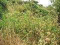 Starr 050423-6652 Leonotis nepetifolia.jpg