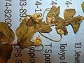 Starr 050427-0966 Anagallis arvensis.jpg