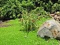Starr 050826-4193 Cyperus javanicus.jpg
