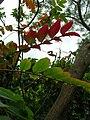 Starr 060221-6033 Rhus sandwicensis.jpg
