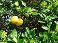 Starr 070112-3382 Citrus sinensis.jpg