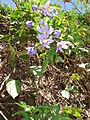 Starr 070228-4911 Solanum seaforthianum.jpg