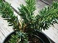 Starr 070906-9007 Juniperus procumbens.jpg