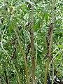 Starr 070906-9025 Artemisia australis.jpg