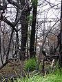 Starr 070908-9129 Sequoia sempervirens.jpg