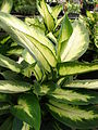 Starr 080117-1528 Dieffenbachia maculata.jpg