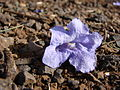Starr 080417-4092 Jacaranda mimosifolia.jpg