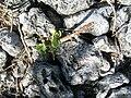 Starr 080603-9110 Solanum nelsonii.jpg
