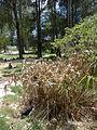 Starr 080609-7926 Cyperus involucratus.jpg