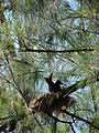 Starr 080614-8897 Casuarina equisetifolia.jpg