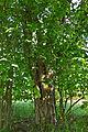 Stein- und Baumgruppe Drei Brüder bei Litschau 2014-05 Kiefer NÖ-Naturdenkmal GD-067.jpg
