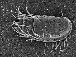 <i>Stephanopogon</i> A genus of flagellate marine protozoan