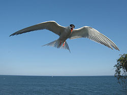 Sterna hirundo -hovering to protect nest-8.jpg
