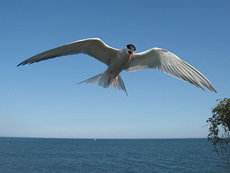 Common tern - Hovering and screaming to deter intruders on Great Gull Island
