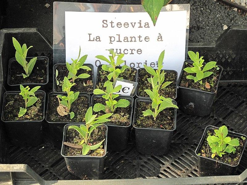 Stevia seedlings in the market of Louhans (Saône-et-Loire, France).