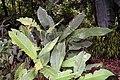 Strelitzia reginae 2zzz.jpg