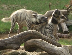 Striped hyena - A pair of striped hyenas fighting at the Colchester Zoo