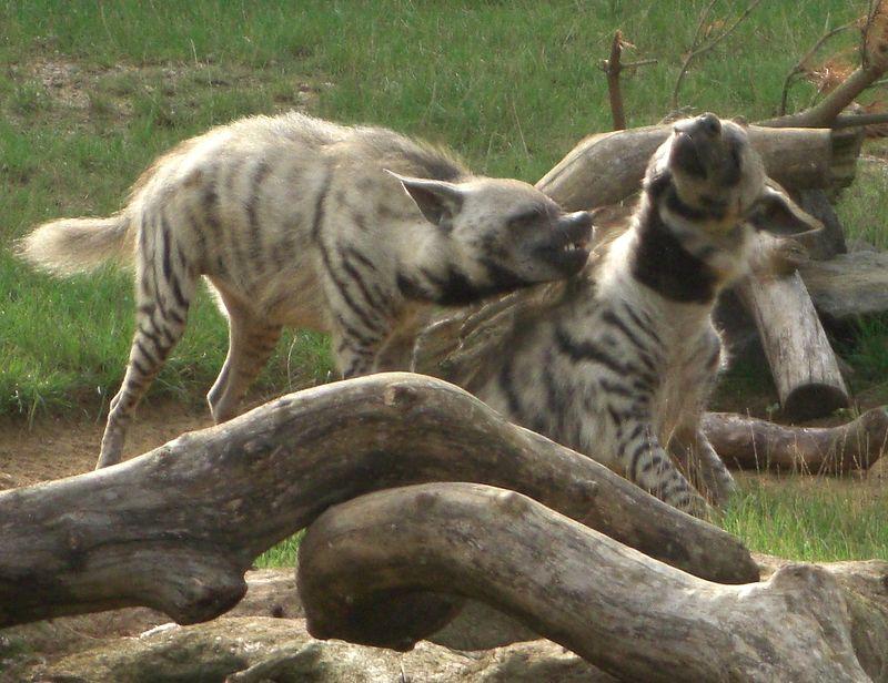 Striped hyenas fighting.JPG
