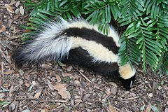 Striped skunk Florida.jpg