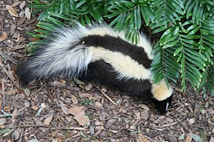 Aposematism - The skunk, an aposematic mammal