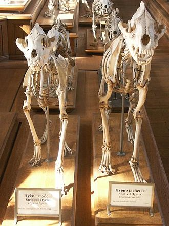 "Hyena - Skeletons of a striped hyena and a spotted hyena, two species of the ""bone-crushing"" hyenas."